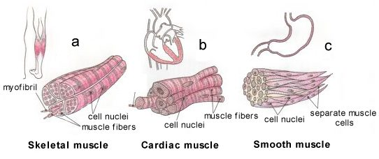types of muscles - sports &science connection - muscular system, Muscles